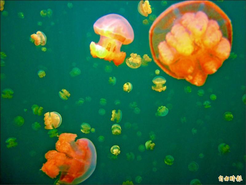 帛琉海底世界美景是吸引遊客最大魅力。(記者莊士賢攝)