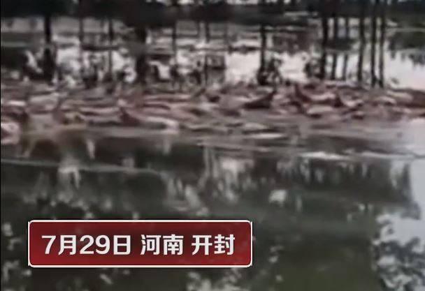 河南開封一養殖場遭大水沖毀,上千頭死豬漂浮水面上,場面相當怵目驚心。(圖片擷取自微博)