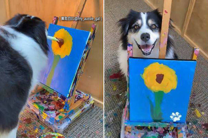 1隻名叫Secret(見圖)的牧羊犬用水彩筆在畫布上,畫出一朵向日葵。(圖取自IG@my_aussie_gal;本報合成)