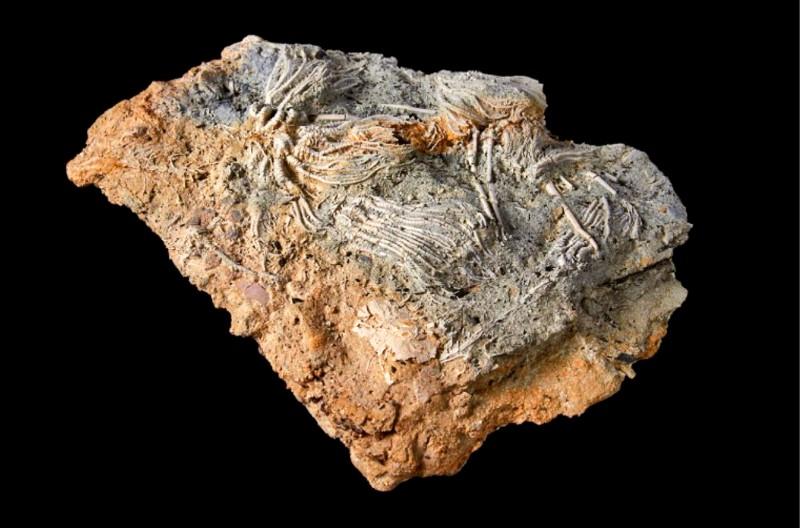 兩名業餘古生物學家內維爾.霍林沃斯與莎莉.霍林沃斯,在英格蘭科茲窩石灰採石場中挖掘出大量侏羅紀時代的化石。(圖擷取自英國自然歷史博物館)