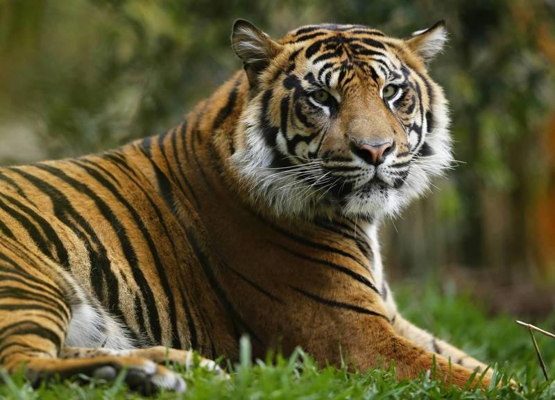 印尼拉古南動物園的2隻蘇門答臘虎確診罹患武漢肺炎;蘇門答臘虎示意圖,非確診老虎。(路透)