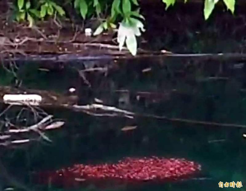 入侵日月潭的魚虎幼魚群聚形成紅色「魚球」情形。(記者謝介裕攝)