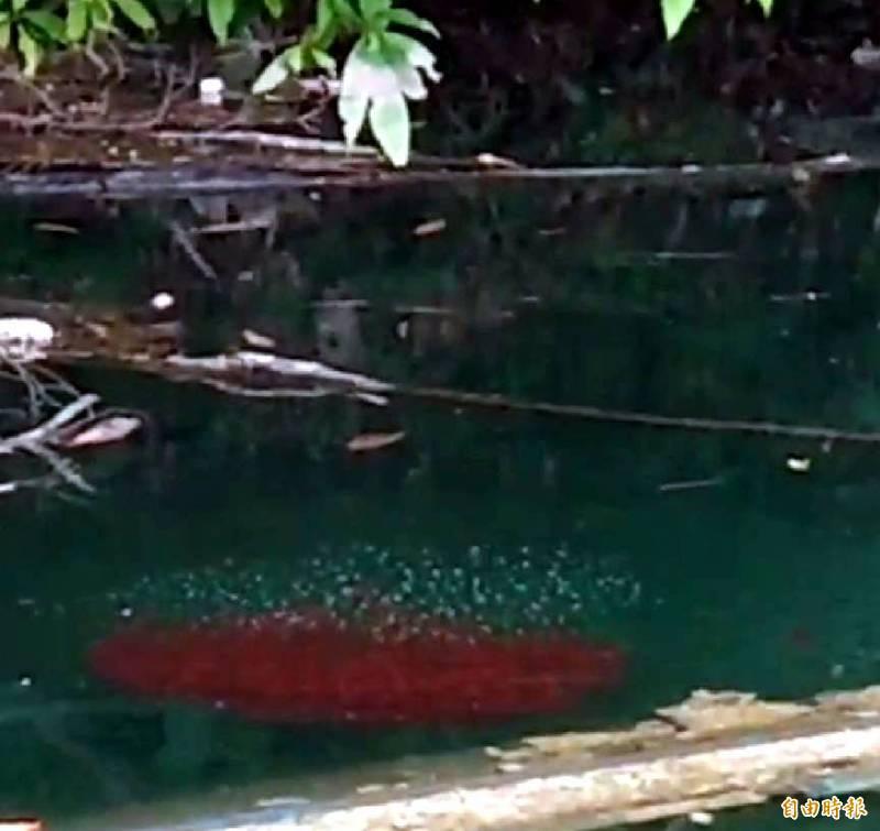 日月潭魚虎幼魚形成的「魚球」在集體獵食獵物後,又沉入水中,獵食產生的「死亡泡泡」也會隨之逐漸消失。(記者謝介裕攝)