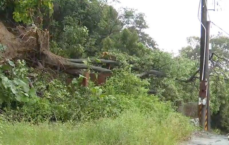 5公尺高的樹木倒塌,壓毀下方廢棄民宅的磚牆,也差點扯落上方的高壓電線。(記者陳冠備翻攝)