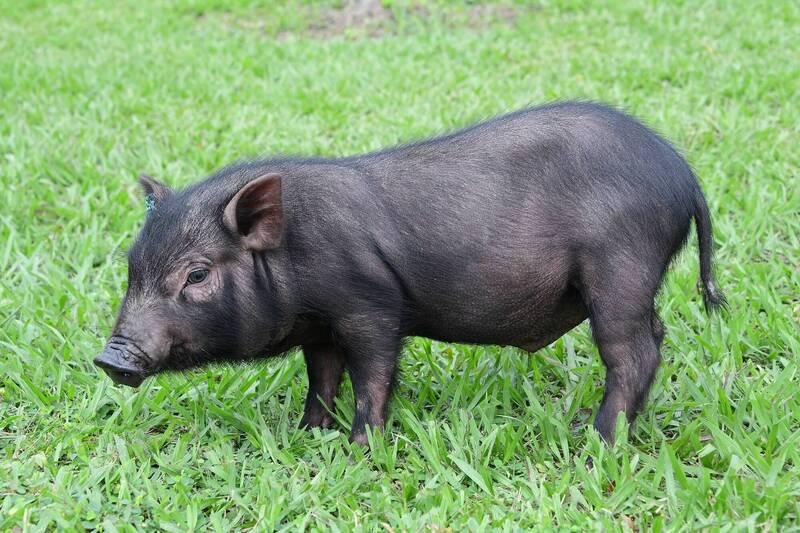 蘭嶼豬有活化石之稱,經過42年來積極保種成功,年初第一批蘭嶼豬已經回到蘭嶼島上,今年6月8日還生了3頭豬寶寶。(農委會提供)