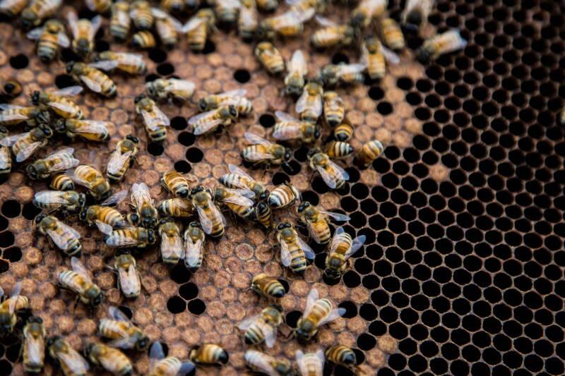 美國1名女子薇佛(Sara Weaver)去年底與丈夫買下農舍,賣家事先告知牆上有蜜蜂,但2人不以為意,沒想到春天到來時,「我們開始看到『它們』」,養蜂人拉坦奇(Allan Lattanzi)估計約有45萬隻蜜蜂。圖僅示意,與本文無關。(歐新社)