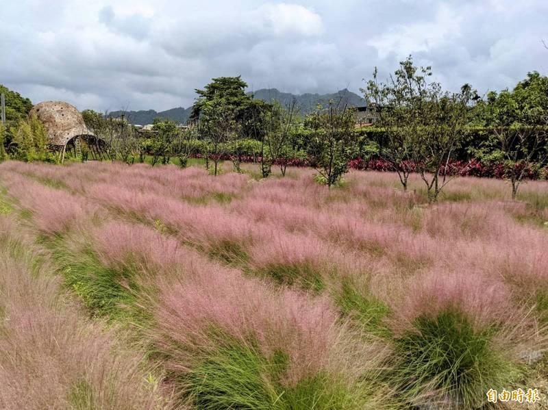 農委會指出,南投縣集集鎮的粉黛亂子草屬外來入侵種,將對國土保育造成影響。(資料照)