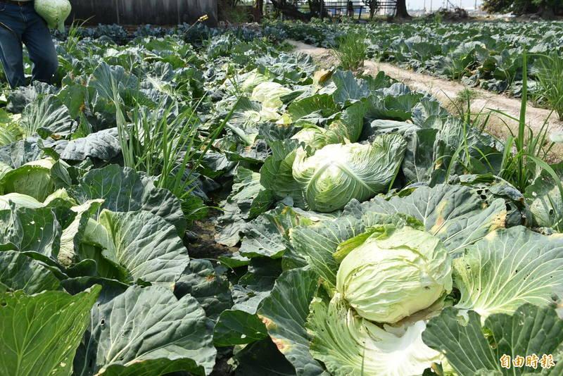 高麗菜因產期集中易發生產銷失衡,建置冷鏈物流後採後處理可儲存在低溫環境達3個月以上,可達到產銷調節。(記者黃淑莉攝)