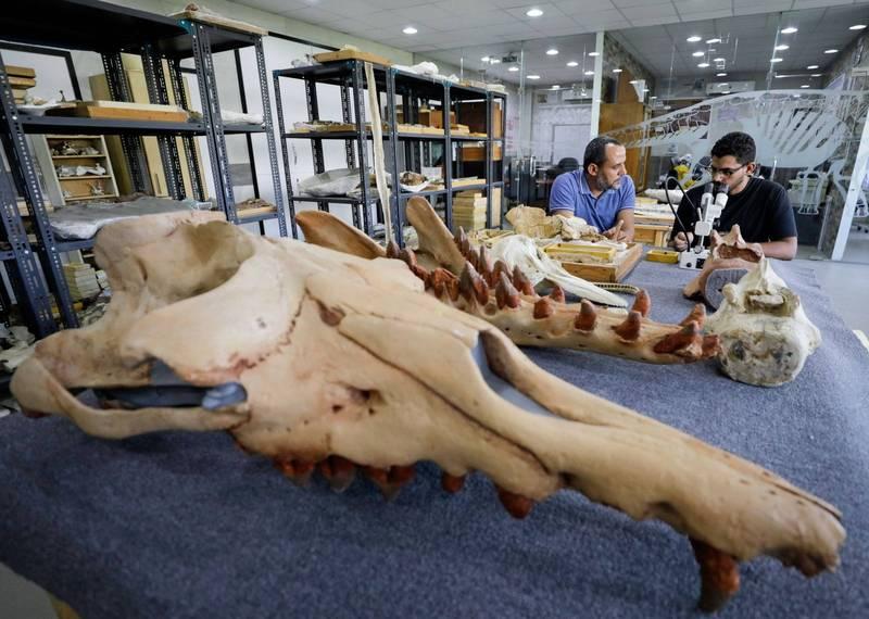 埃及古生物學家在法尤姆沙漠地層中,發現前所未見的四足鯨化石。(路透)