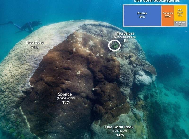 科學家在澳洲東北部昆士蘭州大堡礁島嶼「奧費斯島」(Orpheus Island)發現一具體積極其龐大的活體珊瑚,其寬度(直徑)高達10.4公尺,創下世界紀錄,成為已知最寬的珊瑚。(擷取自權威期刊《自然》旗下《科學報告》雜誌)