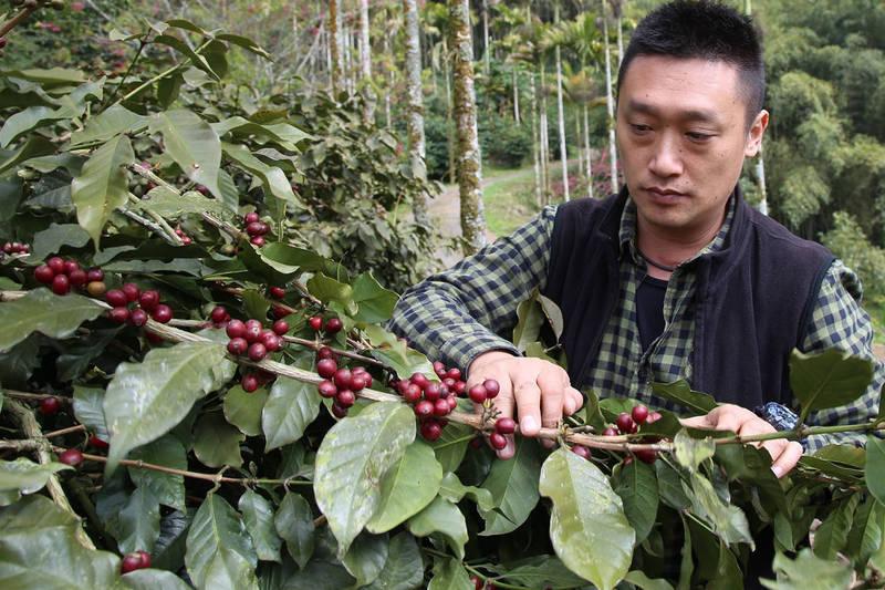 台灣國產咖啡首度參與國際競標,嘉義卓武山咖啡農場的日曬藝伎咖啡豆拍出一磅500.5美金的好成績。(資料照,卓武山咖啡農場提供)