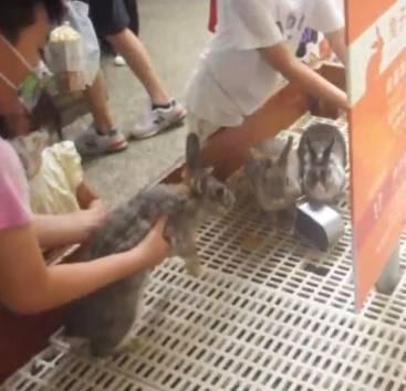 動保團體指控高雄市淨園農場動物展演違法,園區任由民眾驚擾兔子。(動保團體提供)
