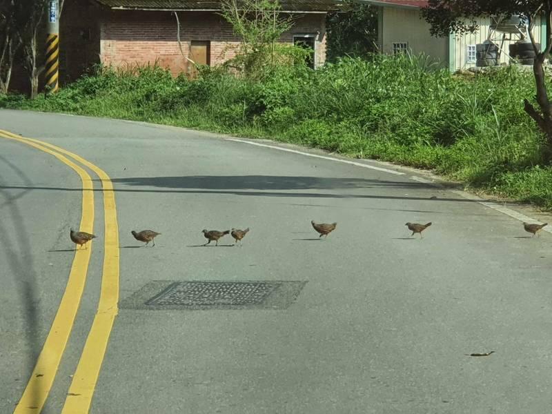 南投縣埔里鎮桃米生態村動植物資源豐富,日前即有竹雞家族整齊排隊過馬路的可愛逗趣畫面。(圖由廖嘉展提供)