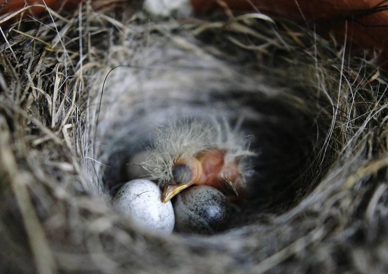 科學家最新發現,某些鳥類胚胎還在蛋內成長時,就開始隔著蛋殼聆聽父母叫聲學習鳴唱。(路透)