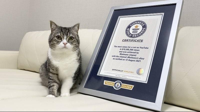 日本一隻名為「望丸」的蘇格蘭摺耳貓,在8月12日獲得金氏世界紀錄認證,成為「YouTube上最受歡迎的喵喵」。(圖擷取自catmotimaru官方推特)