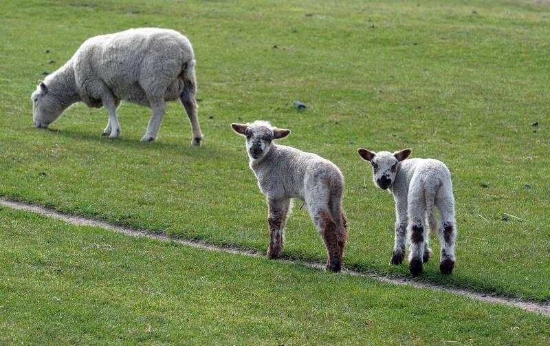 紐西蘭1名14歲少年、農夫之子德尼茲(Corban Denize)日前以頭下腳上姿勢,幾乎整個上半身都鑽進巨岩底洞,成功救出受困的小羊。小羊示意圖。(法新社)