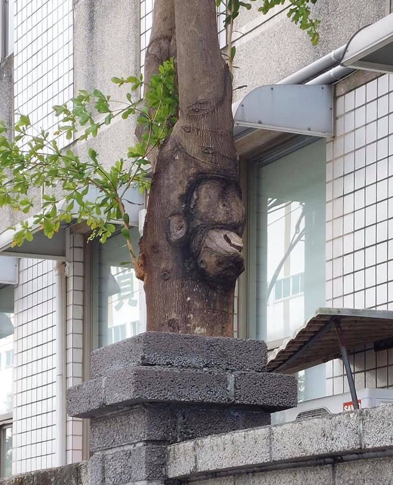 原PO貼出一張與猩猩極為相似的樹幹,引發網友造詞蓋高樓熱議。(圖擷取自路上觀察學院)