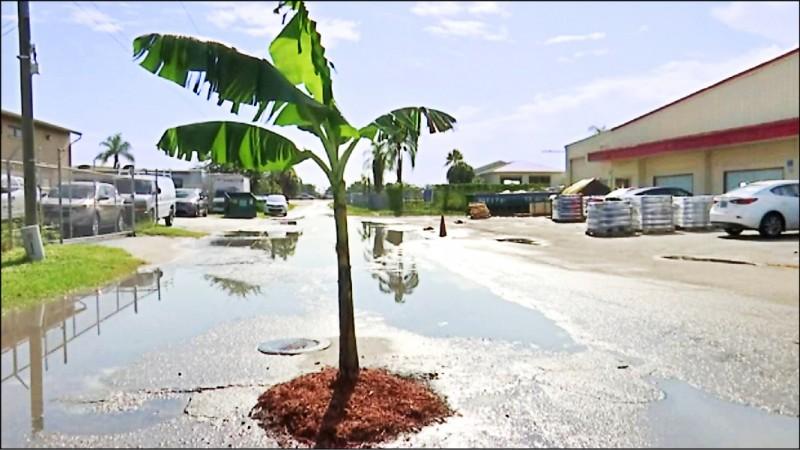美國佛州男子受夠得不斷填補路面坑洞,索性直接在坑洞裡種樹以警示駕駛人。(圖摘自網路)
