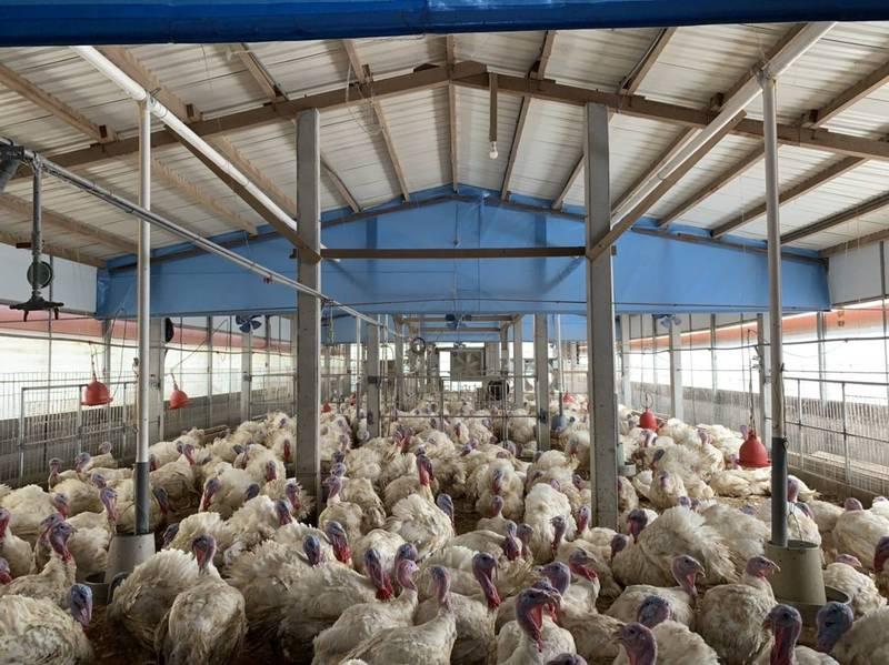 蔡坤宸引進半自動化系統管理火雞飼養場,不只讓畜產農工作場所安全度提升,火雞住得好品質也穩定。(蔡坤宸提供)