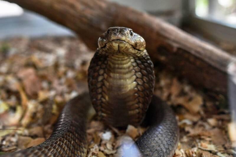 賈伊睡在寺廟地上,突有1隻眼鏡蛇緩緩靠近,接著鑽進他的毯子內。眼鏡蛇示意圖,與新聞事件無關。(法新社)