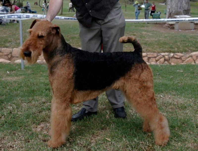 英國萬能梗犬洛蒂透過捐血救活命危的維拉茲犬賽納。萬能梗犬示意圖,與本新聞無關。(路透)