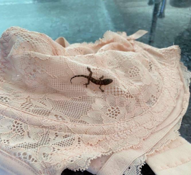 英國女子從加勒比海巴貝多搭機返國,航程長達400英里(約6437公里),沒想到她打開行李箱後赫然看到有隻壁虎藏身在胸罩裡。(圖擷自RSPCA Frontline推特)