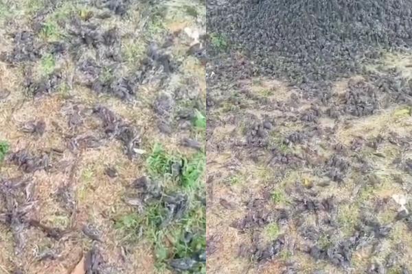 峇里島近日有居民在某處墓地目擊大量麻雀死亡,堆積如山的屍體幾乎把整個地面佔據,讓人看了頭皮發麻。(圖擷取自推特)
