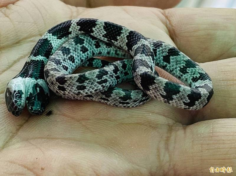 這條雙頭白梅花蛇研判剛出生不久,放在掌心蜷成一團。(記者蔡宗勳攝)