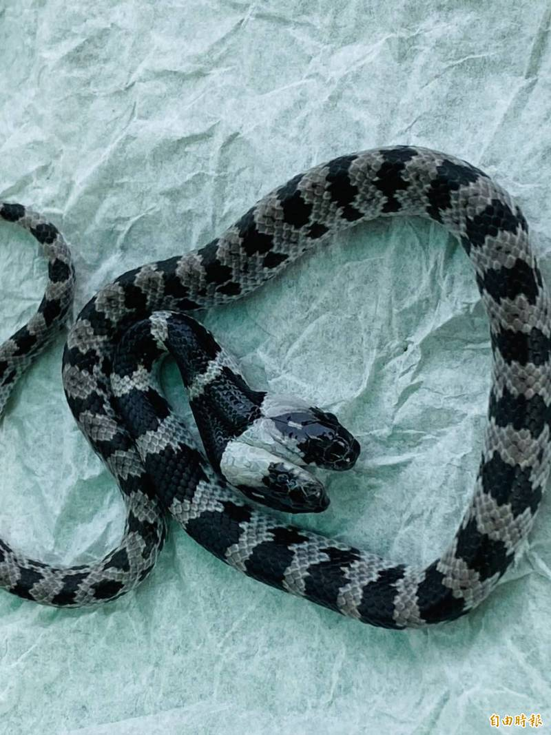 這條雙頭白梅花蛇研判剛出生不久,如果在野地估計活不過一個月。(記者蔡宗勳攝)