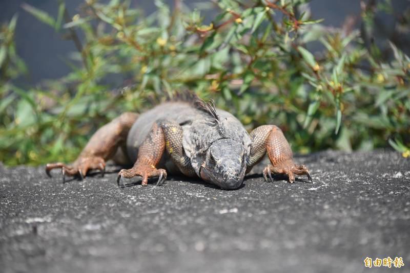 綠鬣蜥在屏東的農田和野外經常可見。(記者葉永騫攝)