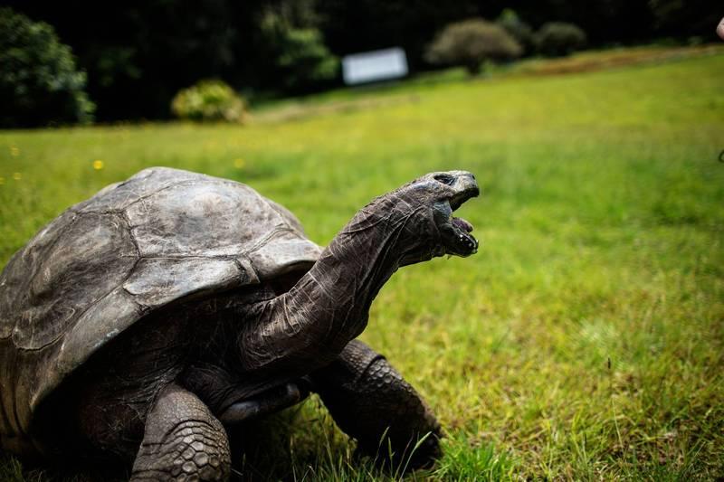 塞席爾巨龜喬納森迎來第189歲,超越傳奇射紋龜「Tu'i Malila」的188歲,成為有確切紀錄以來最長壽的陸生生物。(法新社)