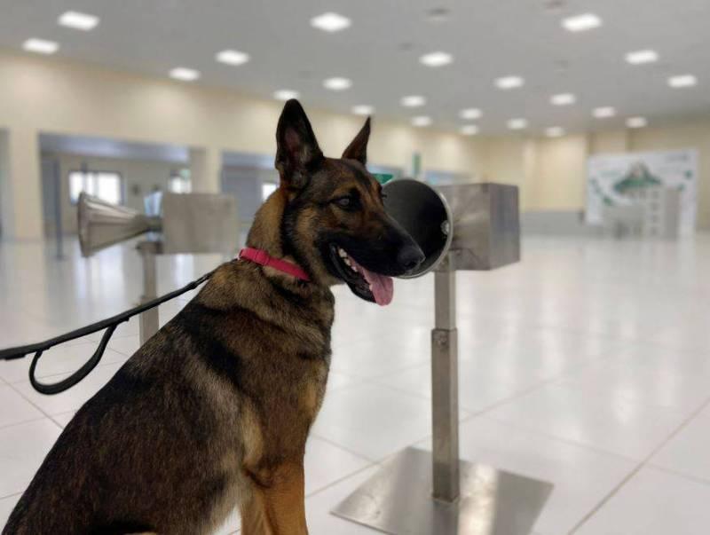 嗅探犬辨識出確診者的準確率達98.2%。(路透)