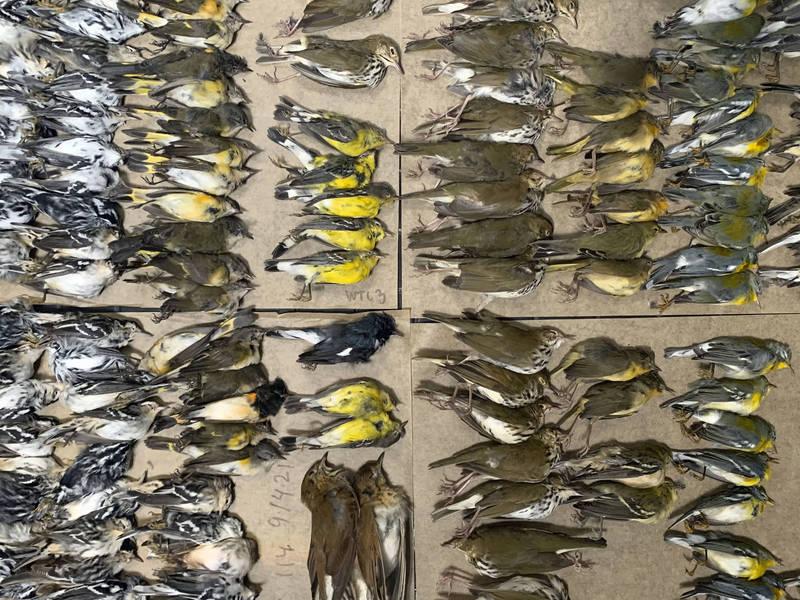 紐約愛鳥人士在社群媒體發文,當地許多鳥類撞上建築物的玻璃死亡,光是在本月14日,愛鳥人士就撿到229具鳥屍,另外有35具掉落在撿不到的遮陽篷上,呼籲當局重視這個問題。(美聯社)