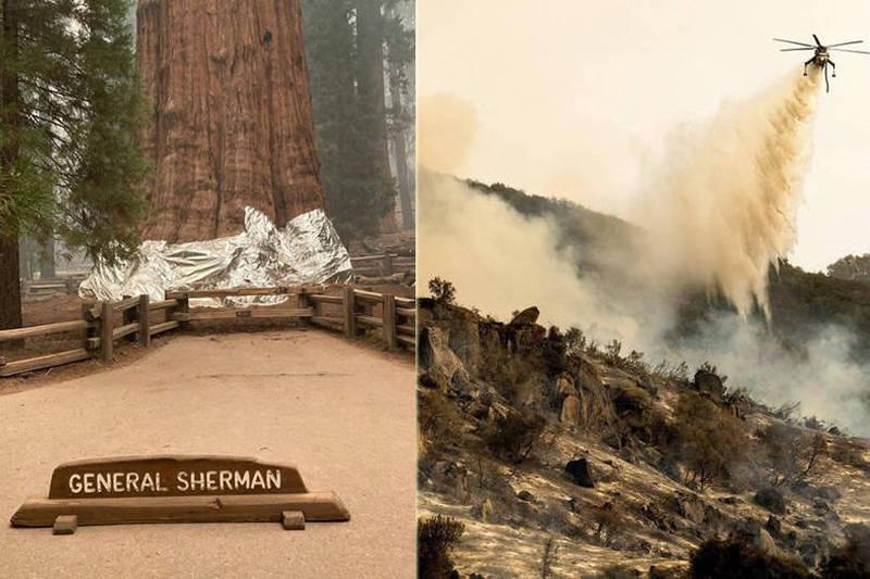 美國加州紅杉國家公園遭遇野火侵襲,消防直升機從空中進行灌救,消防人員也緊急用鋁箔防火毯包覆保護世界上最巨大的樹「薛曼將軍樹」。(法新社、美聯社)