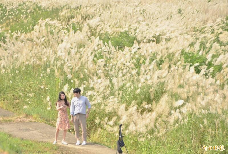 台南曾文溪大內河段甜根子草花季登場,吸引遊客拍美照。(記者吳俊鋒攝)