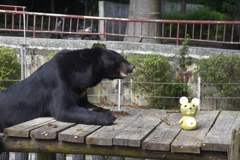 壽山動物園的台灣黑熊,中秋節應景吃柚子。 (壽山動物園提供)