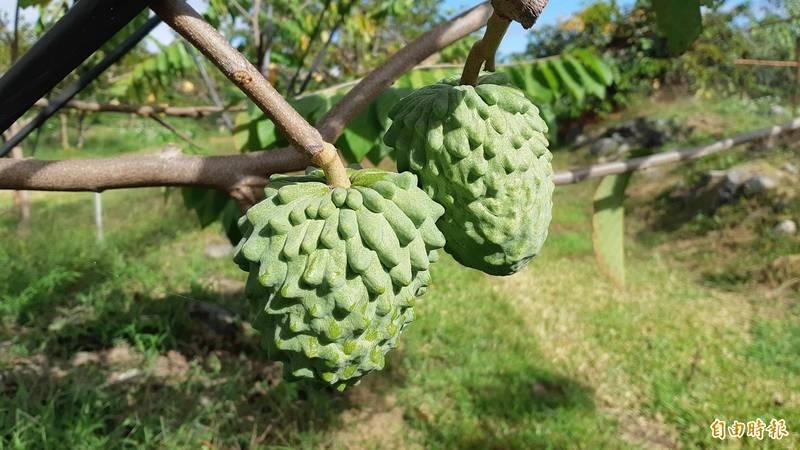 中國海關總署繼今年2月25日宣布禁台灣鳳梨後,本月18日再宣布禁止台灣釋迦、蓮霧進口。圖為仍在樹上、尚未成熟的鳳梨釋迦。(記者黃明堂攝)