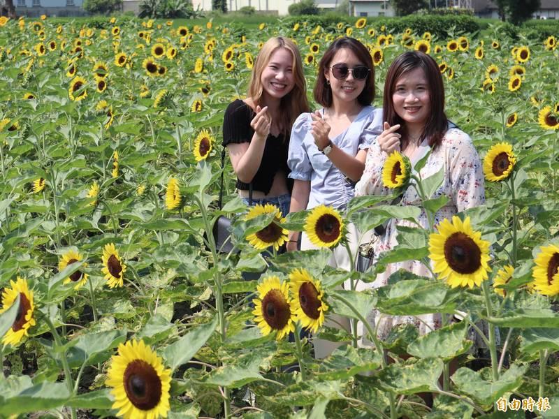 中社觀光花市向日花葵開。(記者歐素美攝)