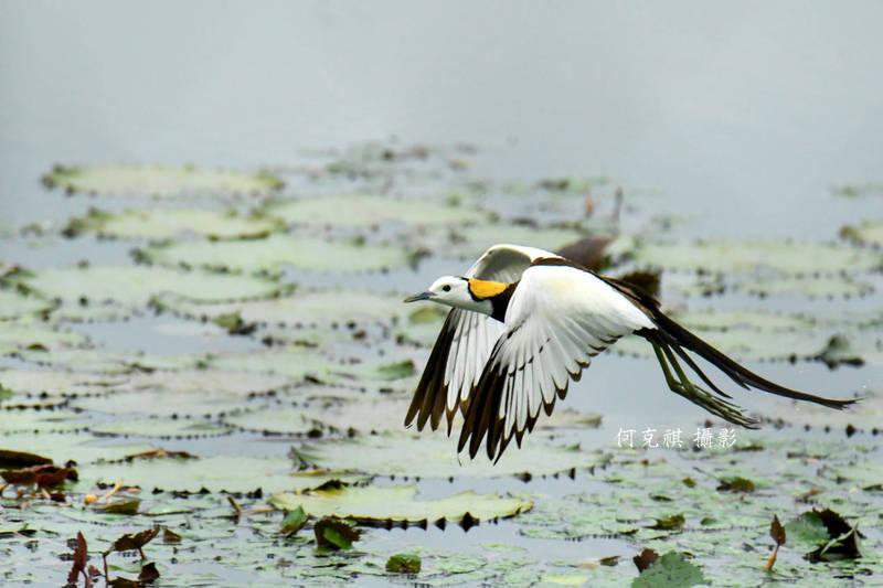 珍貴稀有保育物種水雉有「凌波仙子」美稱,飛翔姿態優雅迷人。(美濃湖水雉棲地志工何克祺提供)