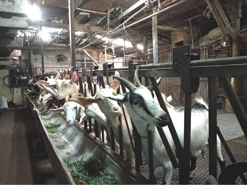 羊痘為甲類傳染病,傳播速度驚人,但只在羊群間傳染,不會人畜傳染,農戶應每年依規定對羊隻施打羊痘疫苗。(動保處提供)