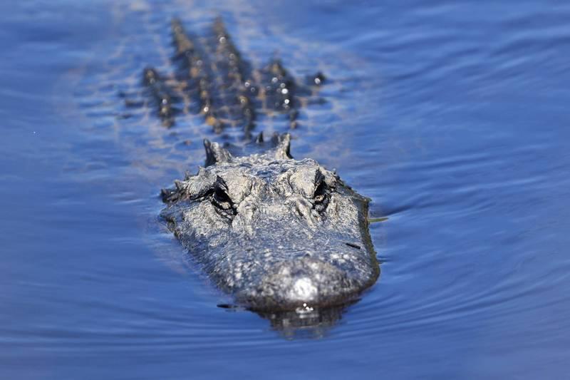 一位老先生在艾達颶風過後遭到短吻鱷攻擊後失蹤,路易斯安那州的驗屍官昨(24)日確認1隻短吻鱷體內的遺體為該名老先生。示意圖,與本新聞內容無關。(法新社)