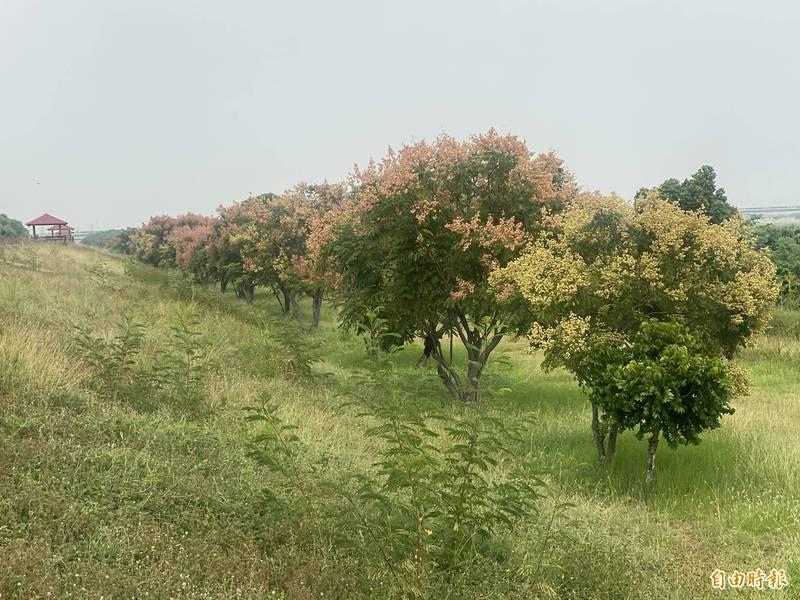台灣欒樹盛開,豐富秋色景觀。(記者洪臣宏攝)