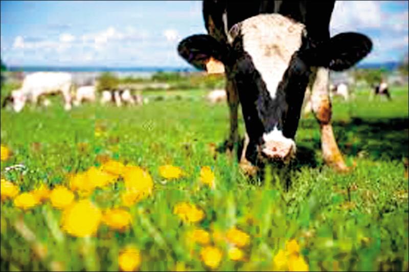 減少畜牧業污染,科學家訓練小乳牛上廁所。示意圖。(路透檔案照)