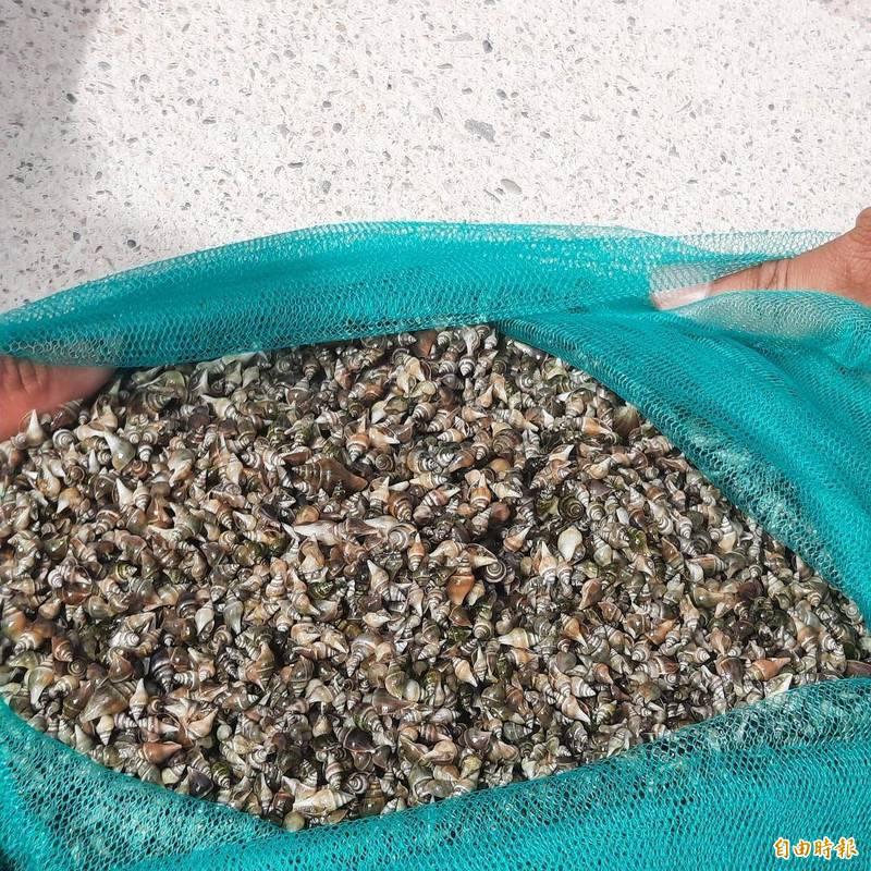 澎湖海洋生物研究中心與鐵線里合作,放流水晶鳳凰螺稚螺。(記者劉禹慶攝)