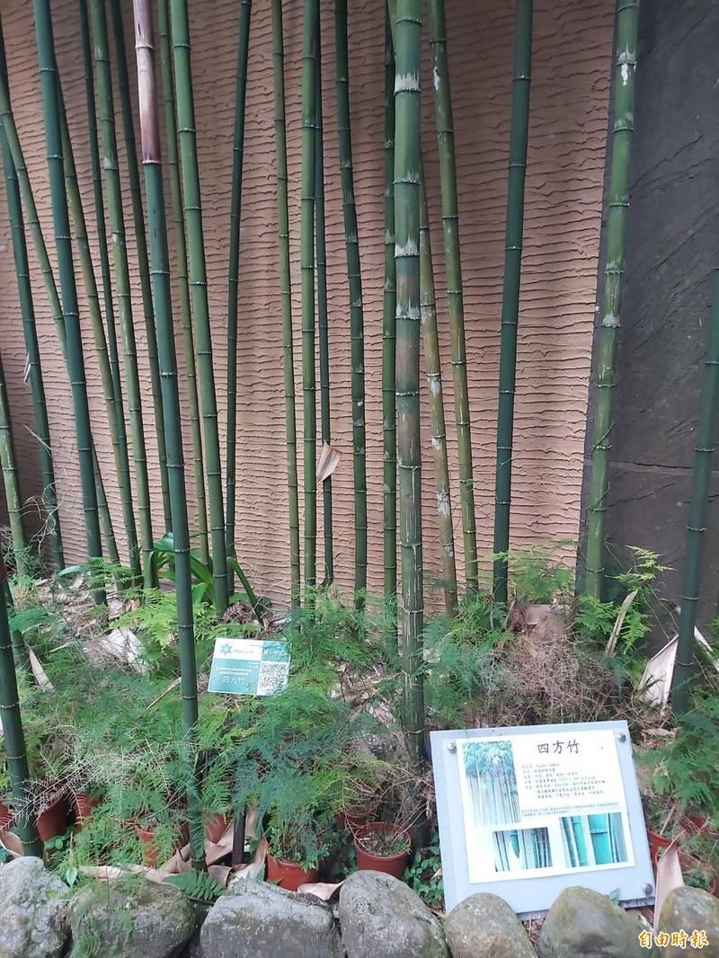 溪頭自然教育園區辦公室門口種植的四方竹。(記者張協昇攝)