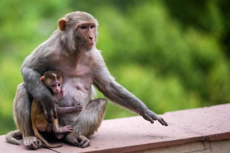 好衰!猴子捡砖块乱丢 男子路过遭砸中头部身亡