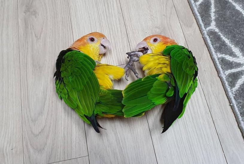 別惹我! 鸚鵡的玩具被拿走…下一秒牠飛踢擊倒對手!