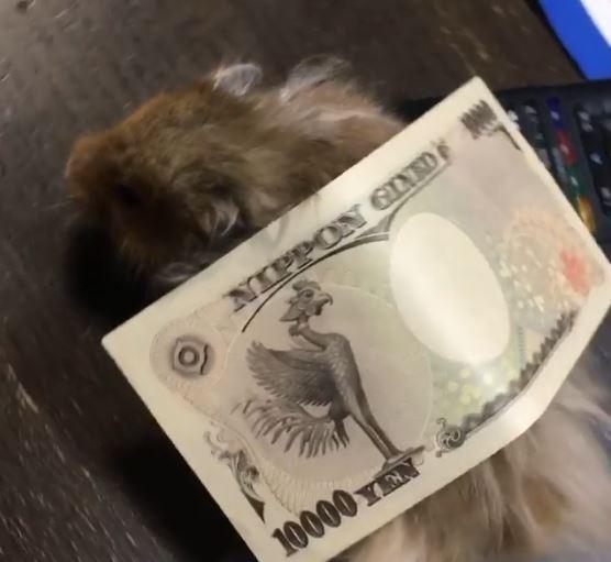 最萌偷錢大盜?倉鼠偷運走萬元大鈔被秒抓包 網笑:那又不能吃!