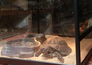 可愛的慢行者 寵物龜