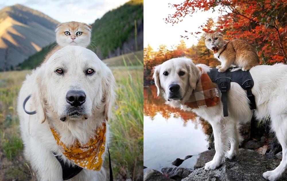 走不動我來背!貓狗合體出遊 「黃金獵犬背摺耳貓」畫面萌翻網友